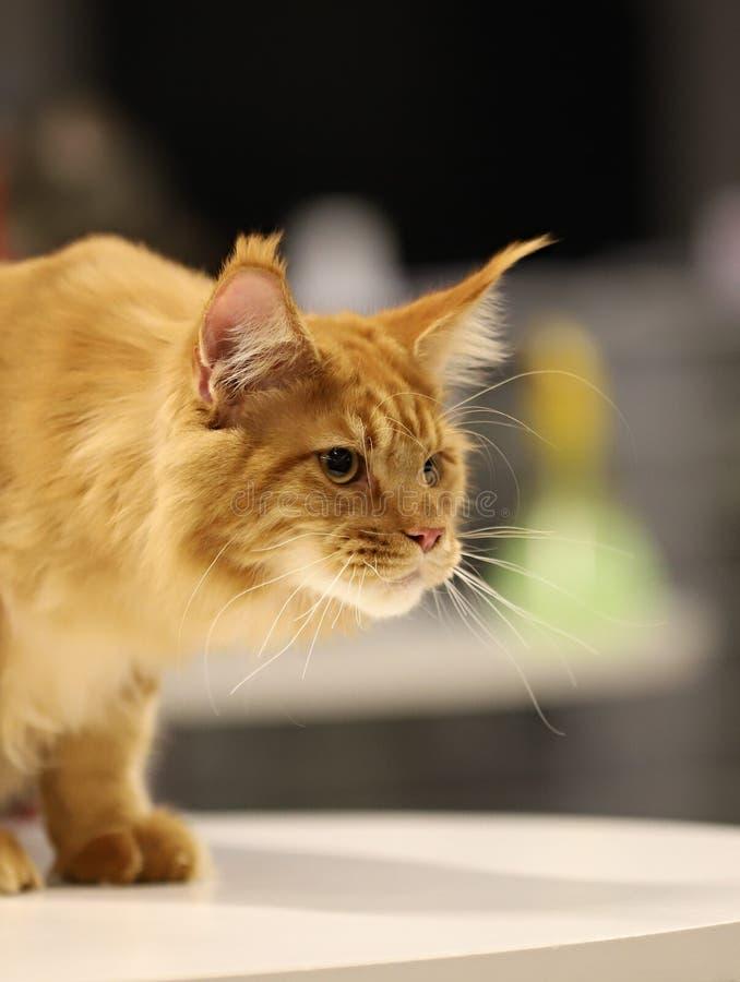 Кот, красивый портрет чистоплеменного кота стоковая фотография rf