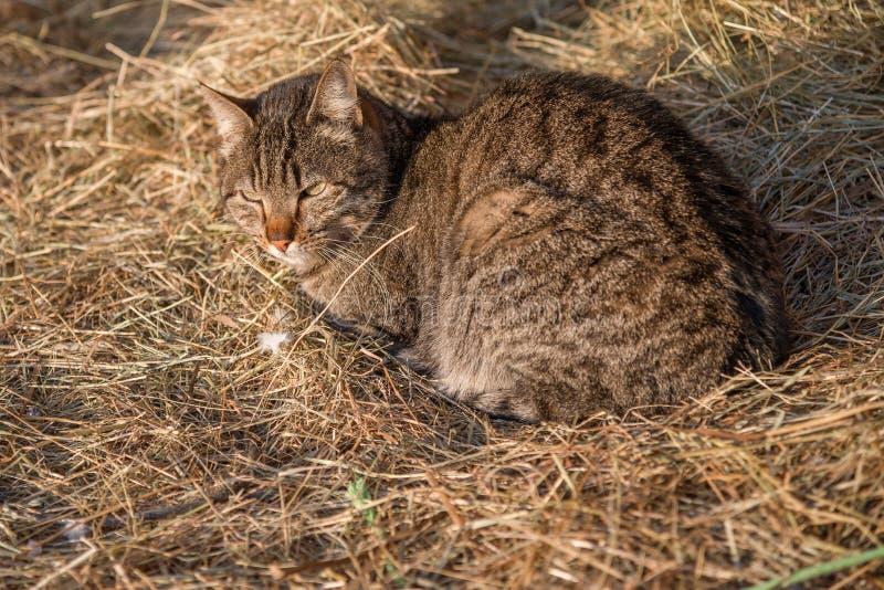 Кот сидя на сене стоковая фотография rf
