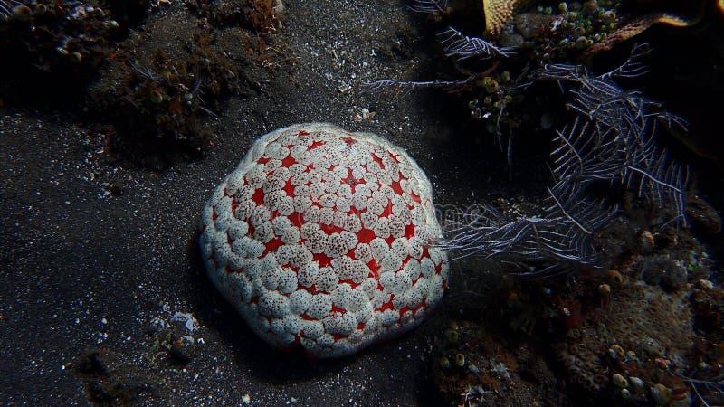 Коралловый риф culcita морских звёзд в amed, Бали Индонезия стоковые фото