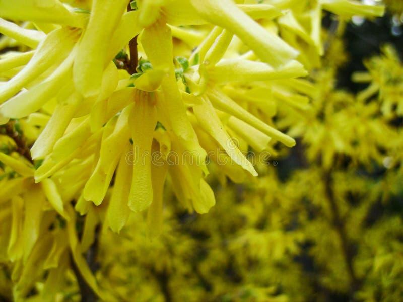 Корейский сад ovata Forsythia Forsythia весной Принуждать forsythia, Forsythia, кустарник just rained стоковое фото rf