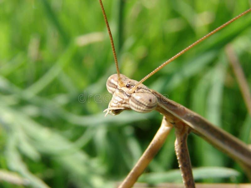 Коричневый mantis стоковое фото rf