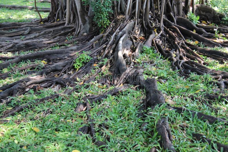 Корни смоковницы занавеса с зеленой травой стоковые фото