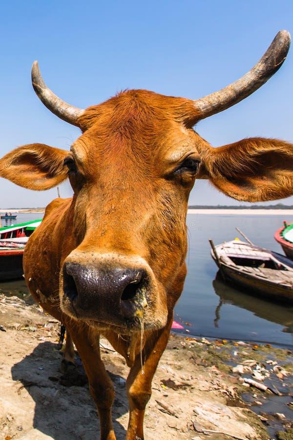 Корова на банке святого реки Ganga - Индии стоковые фотографии rf