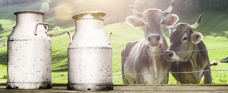 Корова с консервными банками молока стоковые фото