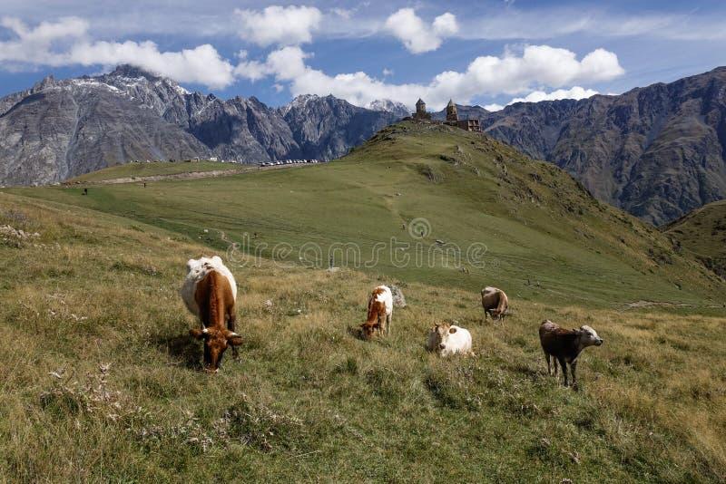 Коровы есть траву на горе стоковое изображение rf