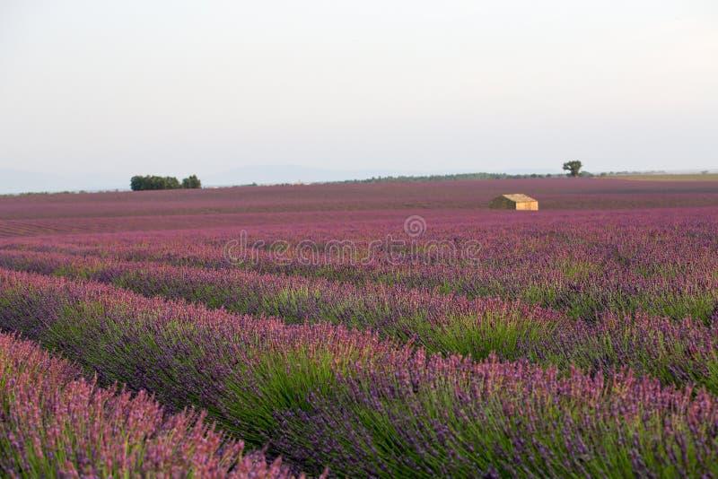 Лаванда в Провансали стоковое фото rf