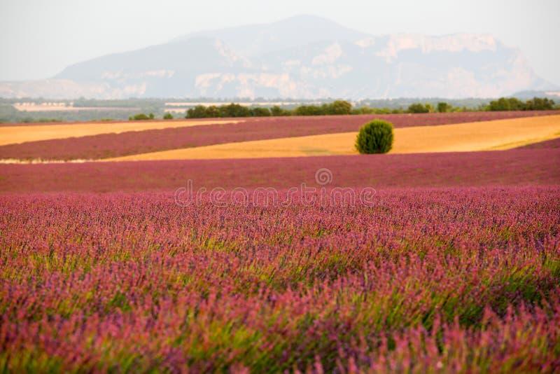 Лаванда в Провансали стоковое изображение