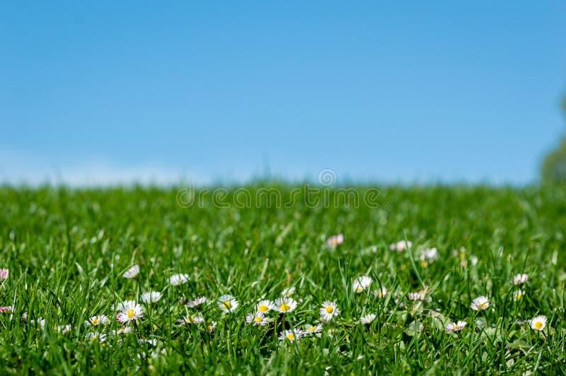 Ландшафт весны яркий с красивыми camomiles полевых цветков в зеленой траве с предпосылкой голубого неба стоковые изображения rf