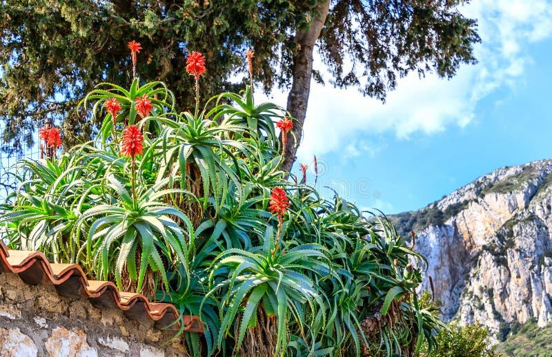 Ландшафт Италии - Капри с arborescens алоэ Arborescens алоэ стоковые фотографии rf