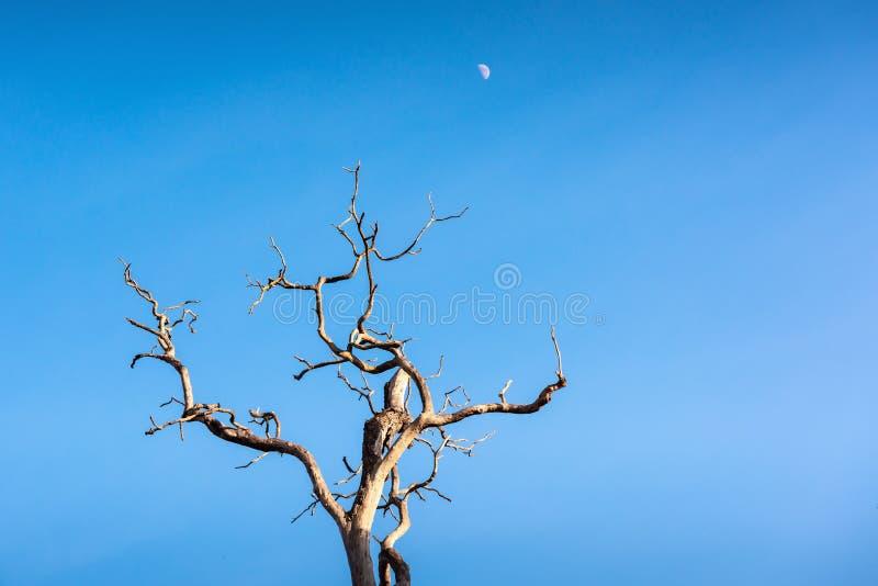 Ландшафт мертвого дерева на дневном свете с луной, абстрактной предпосылке природы стоковое фото