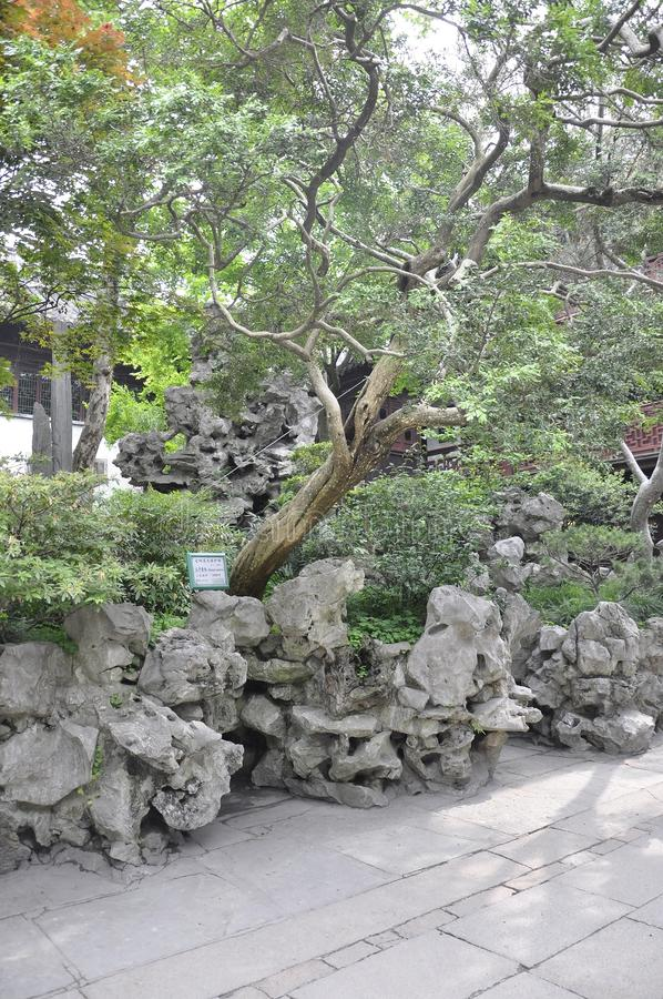 Ландшафт с деревом sinica самшита старым в известном саде Yu в центре города Шанхая стоковая фотография rf