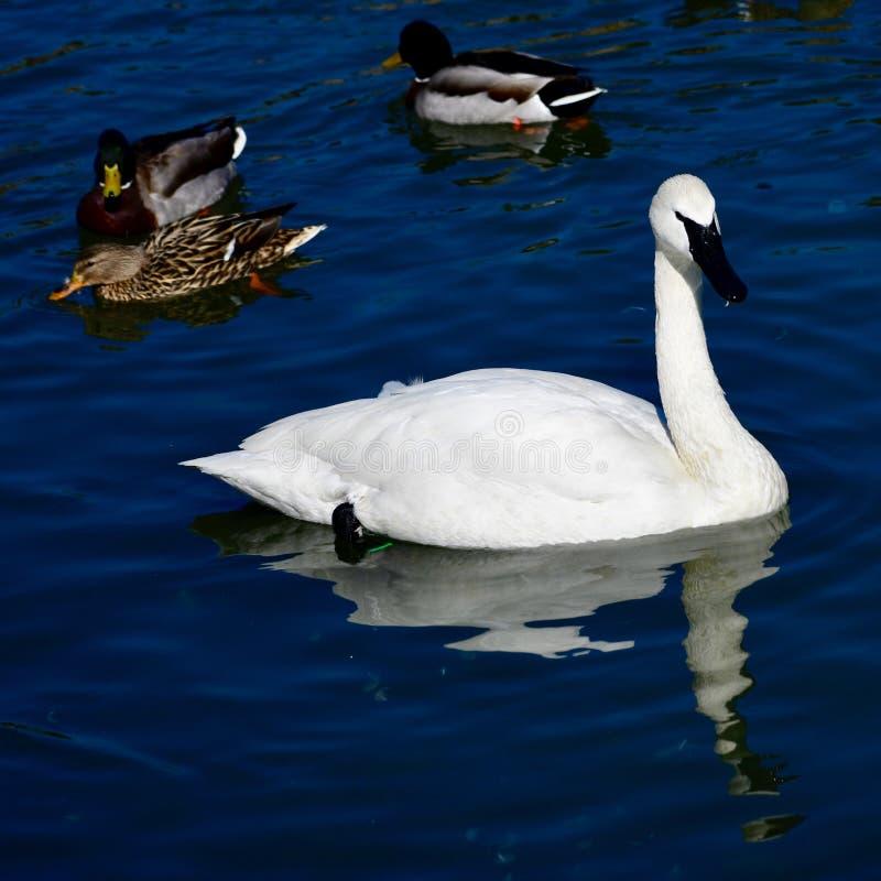 Лебедь трубача #2 стоковые фотографии rf