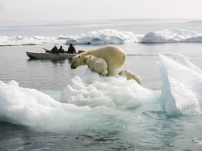 ледовитый медведь приполюсный стоковые изображения