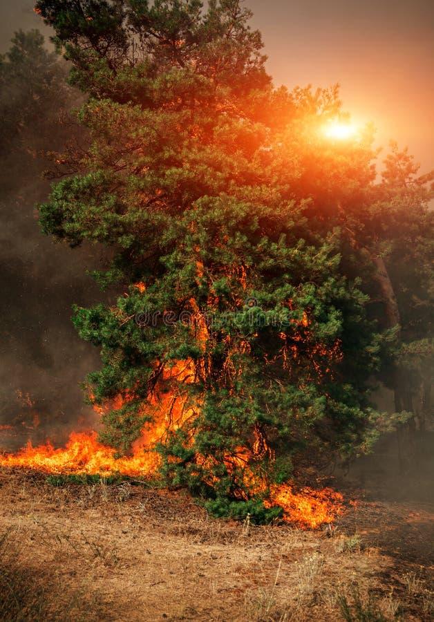 Лесной пожар на заходе солнца, горящий сосновый лес стоковая фотография