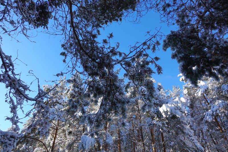 Лес зимы, treetops, стволы дерева в небе Замороженные treetops в лесе с предпосылкой голубого неба стоковые изображения rf