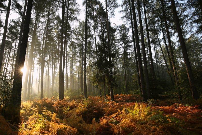 Лес туманной осени coniferous на восходе солнца стоковые изображения