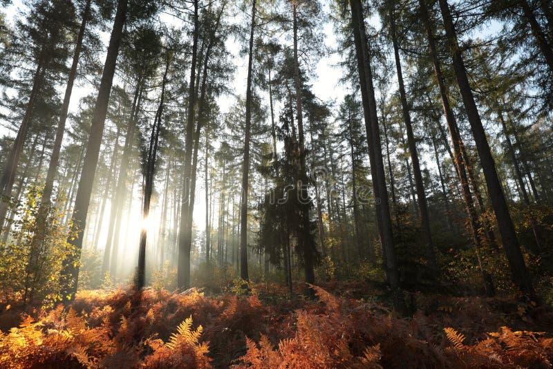 Лес туманной осени coniferous на восходе солнца стоковая фотография