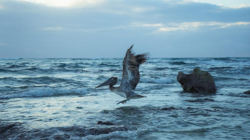 Летание пеликана с восхода солнца Мексики стоковое изображение