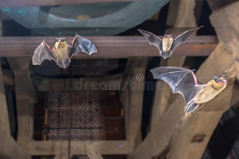 3 летучей мыши летая pipistrelle в башне церков стоковое фото rf