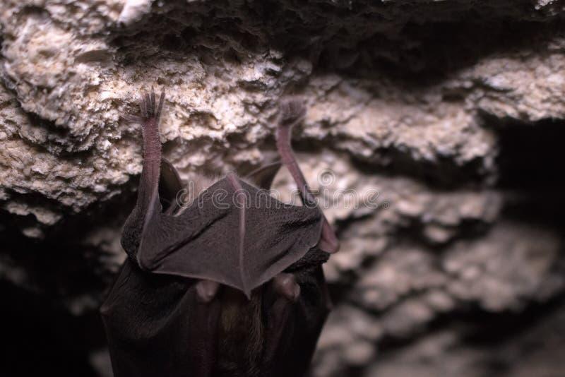 Летучие мыши спят в подземелье Подков-обнюханная летучая мышь стоковые фото