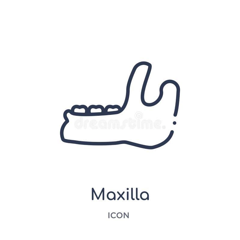 Линейный значок maxilla от собрания плана дантиста Тонкая линия значок maxilla изолированный на белой предпосылке maxilla ультрам иллюстрация вектора