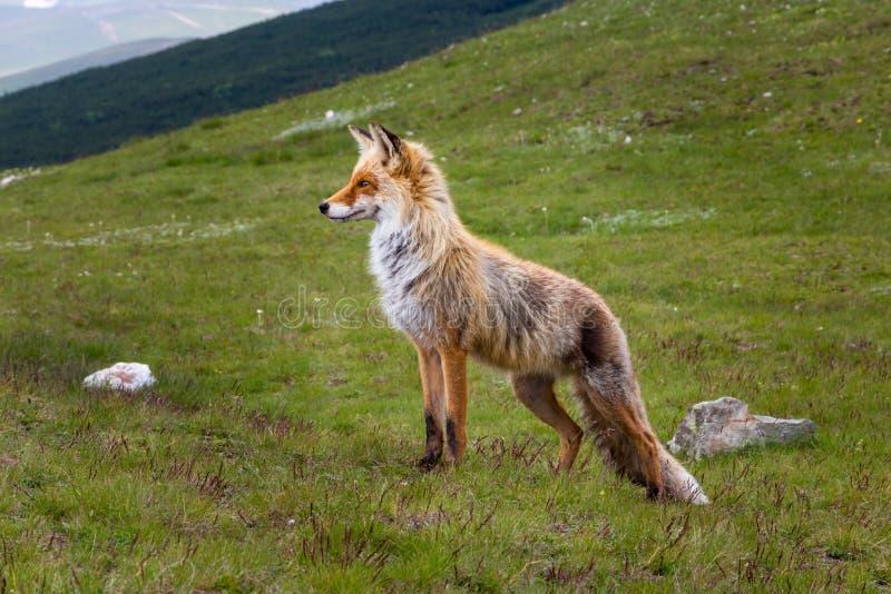 Лисица лисицы дикой лисы животная в своей естественной среде обитания вверх в горах Bucegi Румынии, смотря вперед стоковое фото