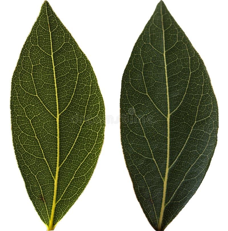 Листья залива изолированные на белизне стоковые изображения