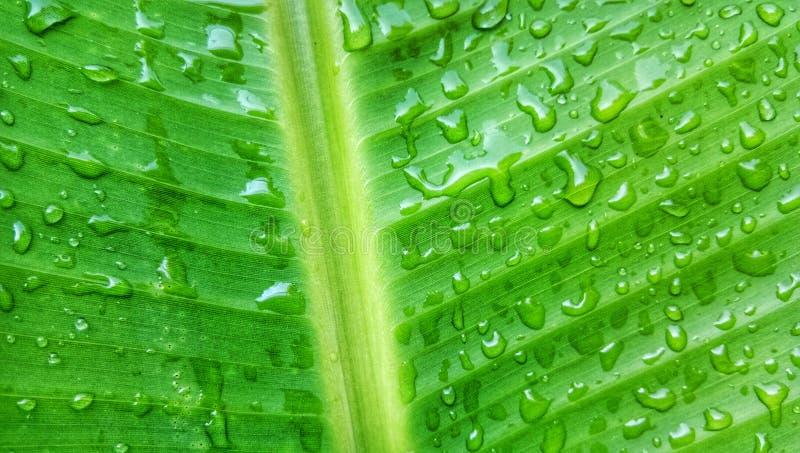 Листья зеленого цвета банана с водой падают фотография макроса стоковые фото