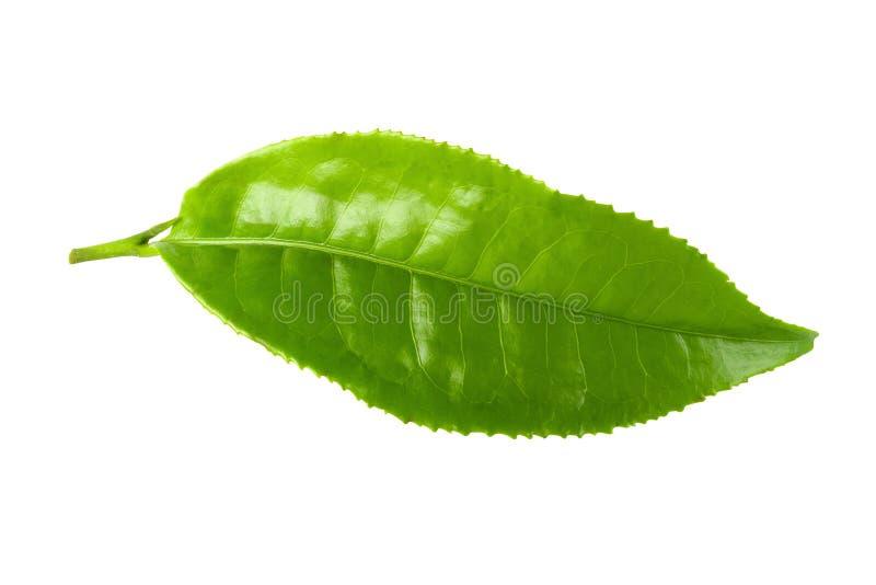 Лист зеленого чая изолированные над белой предпосылкой стоковое фото rf