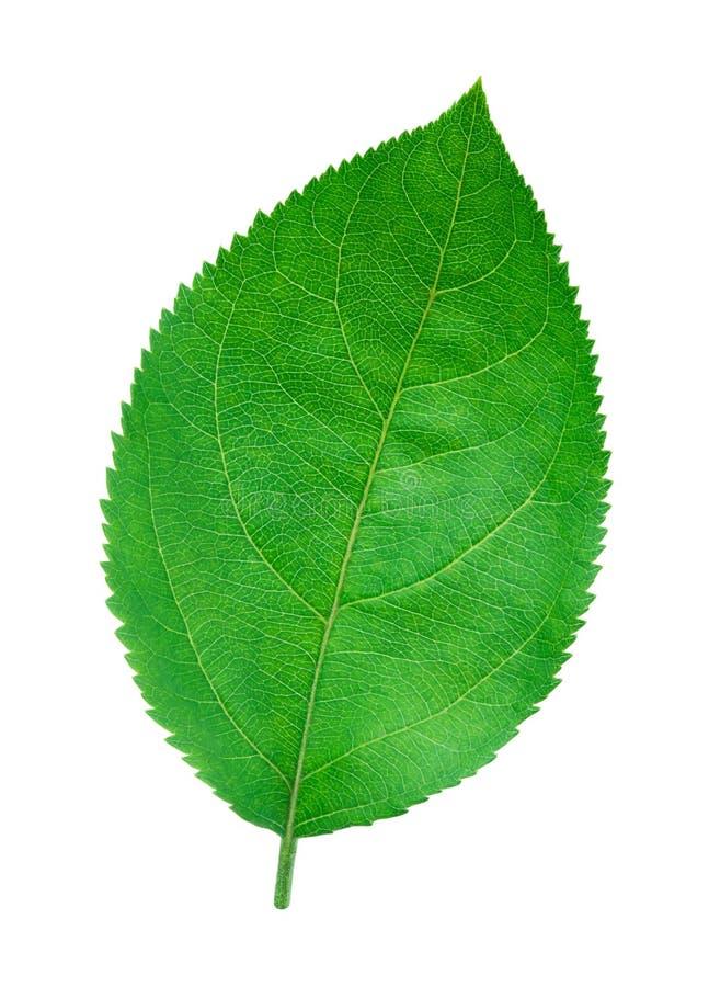 Лист Яблока изолированные на белизне стоковое фото