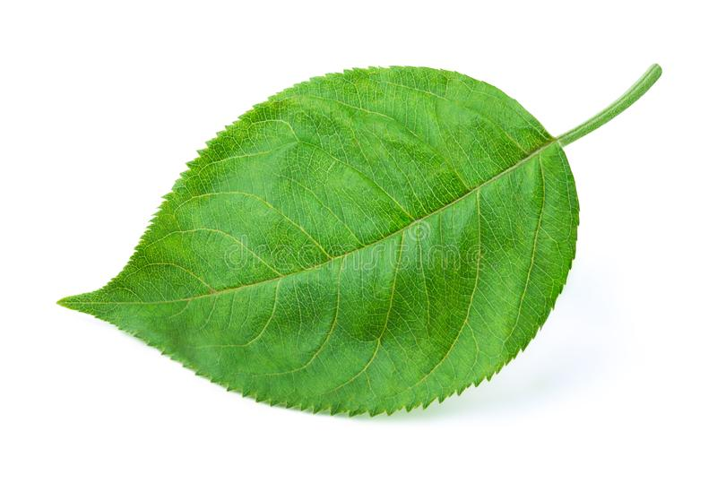 Лист Яблока изолированные на белизне стоковое изображение