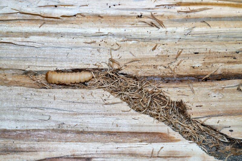 Личинка большого жука лонгхорна тополя стоковое изображение rf