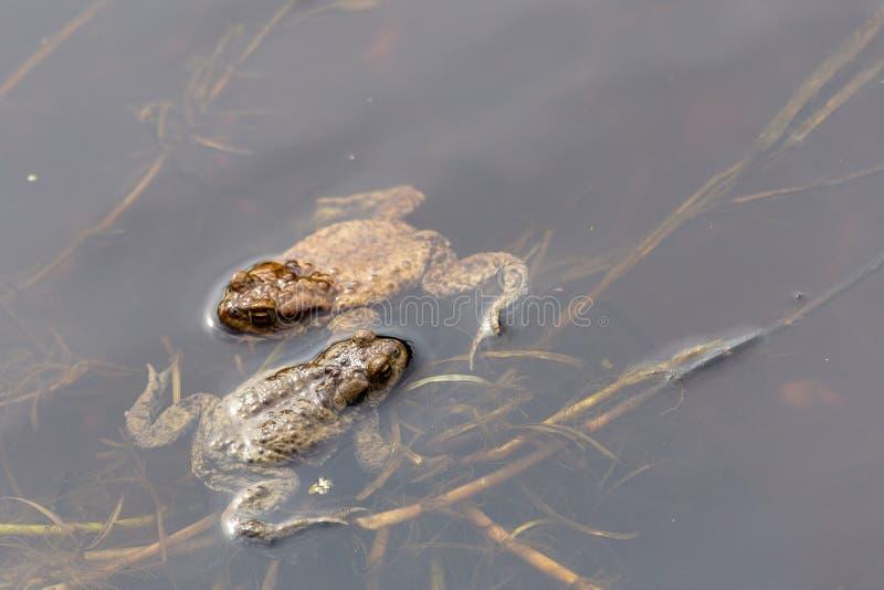 лягушки pond 2 листья sgrass стоковое фото