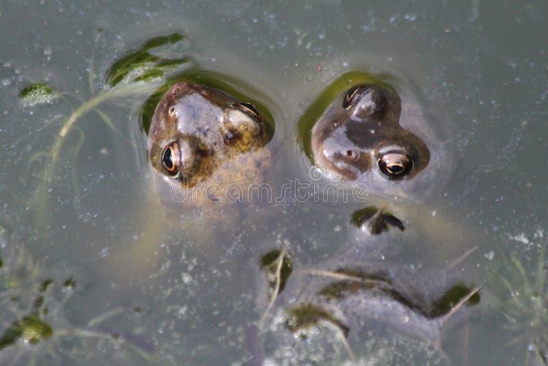 лягушки pond 2 стоковое изображение rf