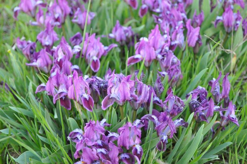 Луг крошечных полевых цветков вид пурпурных радужек стоковое фото rf