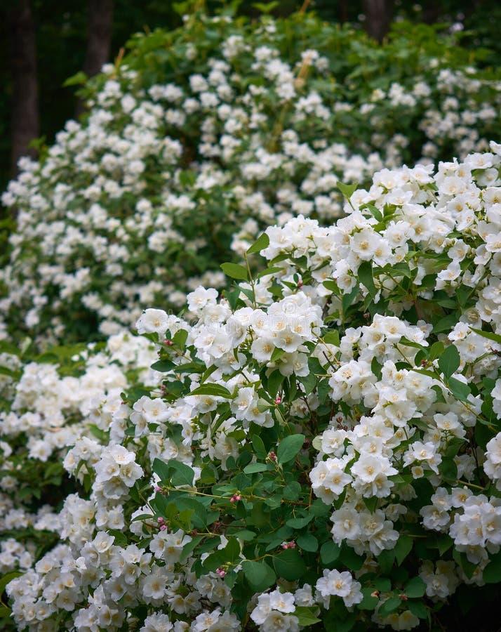 Лоза officinale жасмина или jasminum и белые цветки весной стоковое изображение rf