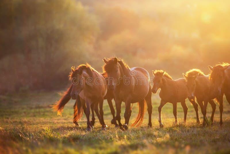 Лошади на свете захода солнца стоковые изображения rf