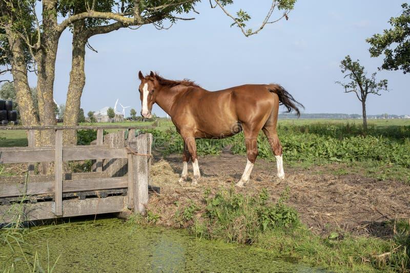 Лошадь Брауна с белым пламенем и белыми носками, стоя рядом с деревянным мостом стоковое фото rf