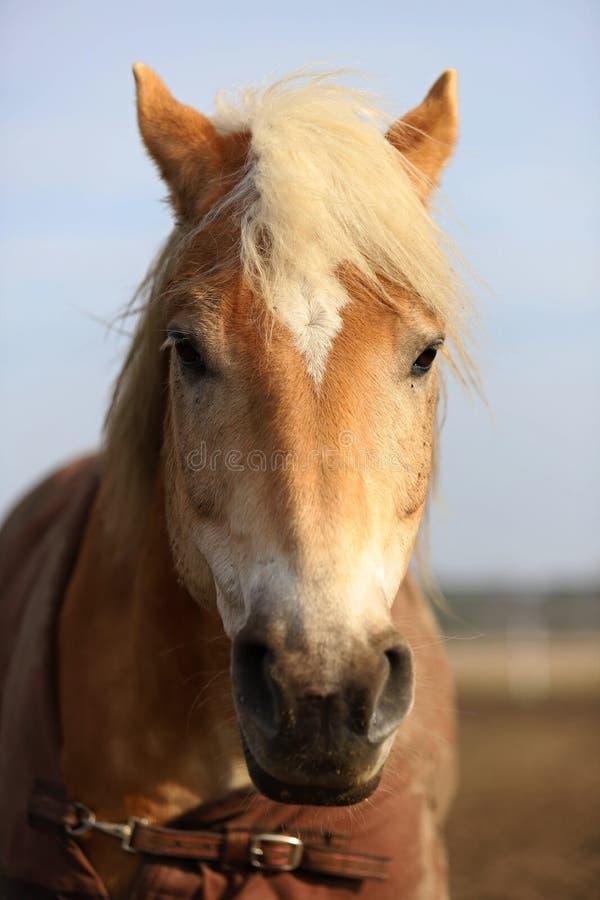 Лошадь, красивый портрет польской лошади стоковое изображение