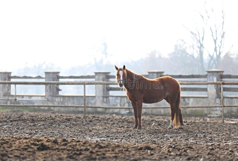 Лошадь, красивый портрет польской лошади стоковые фото