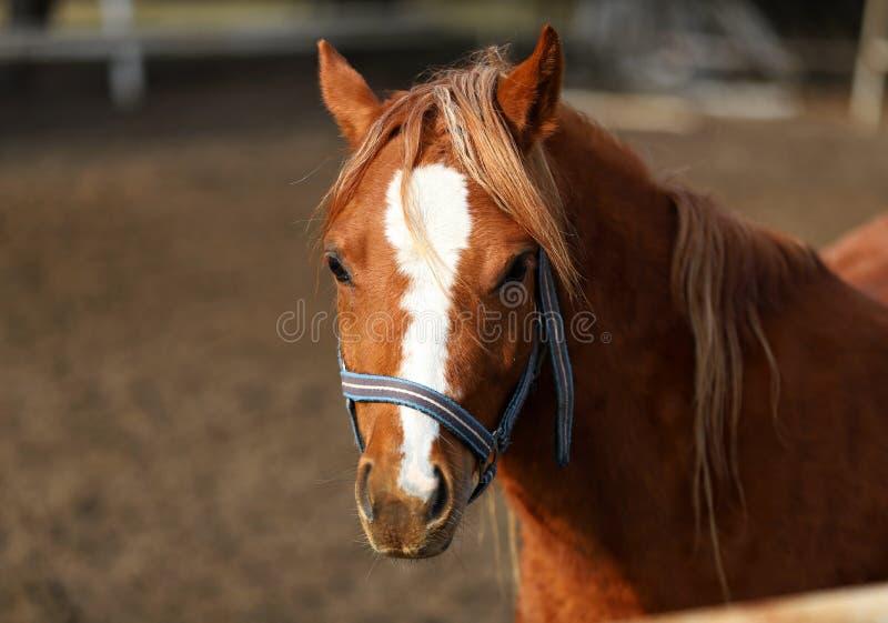 Лошадь, красивый портрет польской лошади стоковая фотография rf
