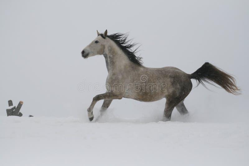 Лошадь скачет галопом в глубоком снеге Серый жеребец скача галопом на наклоне в снег стоковое фото