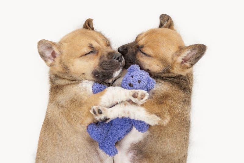 2 маленьких щенят спать держа плюшевый мишку на белой предпосылке стоковая фотография