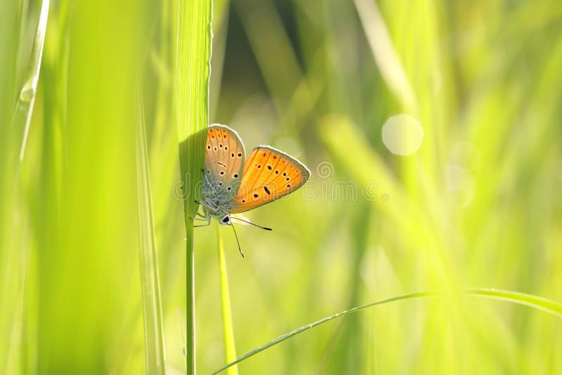 Медь бабочки большая - голубянки dispar на солнечном утре весны стоковые фото