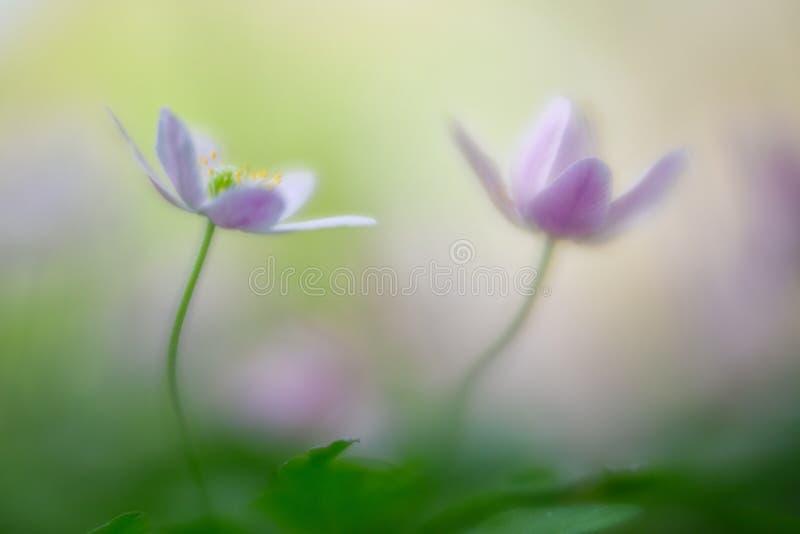 Мечтательные полевые цветки, nemerosa деревянной ветреницы стоковое фото