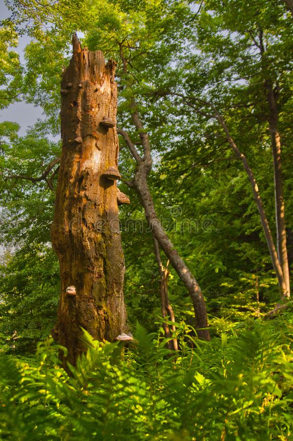 Мертвое дерево на primeval лесе на горах Kremnicke Vrchy стоковые фото