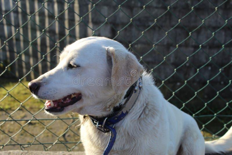 Милая белая улыбка собаки labrador стоковые изображения rf