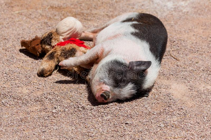 Милая свинья со своей игрушкой стоковые изображения
