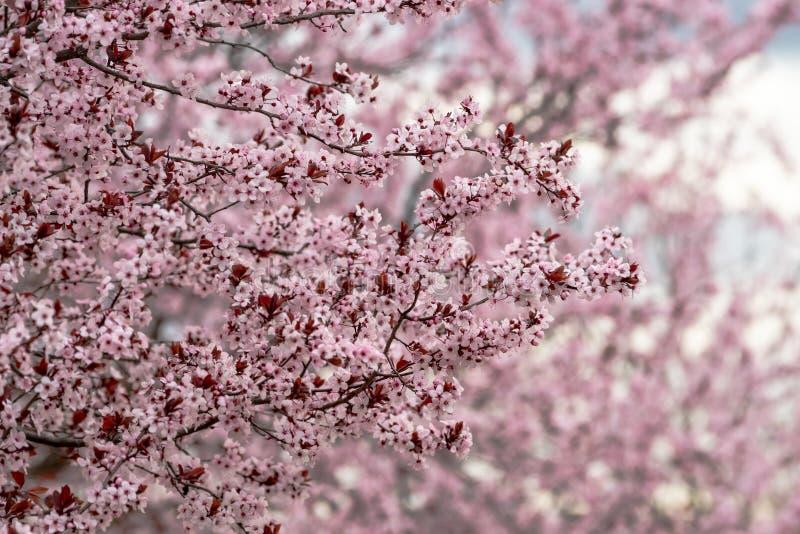 Милая сцена с цвести ветвями цветений сливы стоковая фотография