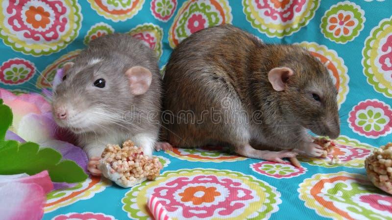 Милые крысы любимца есть закуски на партии стоковое фото